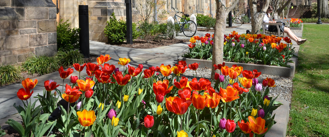 A group of red, yellow, and orange tulips in a flower bed in the Jonathan Edwards courtyard.